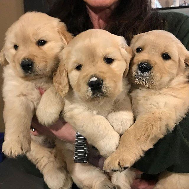 Goldendoodle Puppy Puppy Ideas Puppy Cuddles Weimaraner Puppy