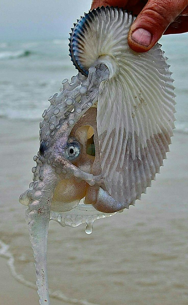 The female Argonaut Octopus travels the oceans in her 'Paper Nautilus' .
