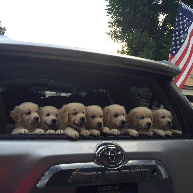 Seven precious Golden Retriever #puppies!