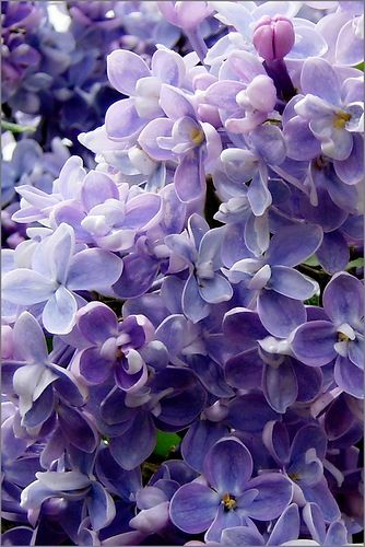 lilac blooms by VORONA.BEL Reminds me of being a kid...the big lilac bush in the yard was my absolute favorite!