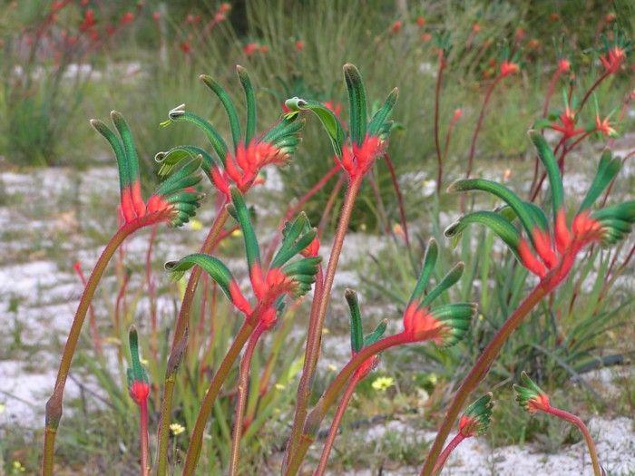 Red & Green Kangaroo Paw.jpg