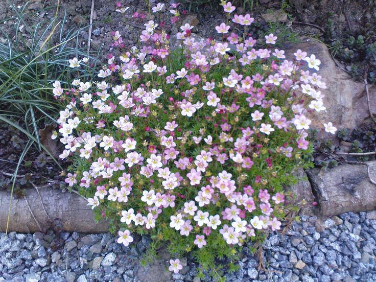 My fav rockery plant