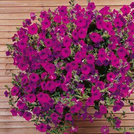 Petunia - Petunia - Piante Annuali - Come coltivare le petunie