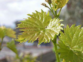 Pflanzenreich: Kletternde Weinrebe im Wohnzimmer