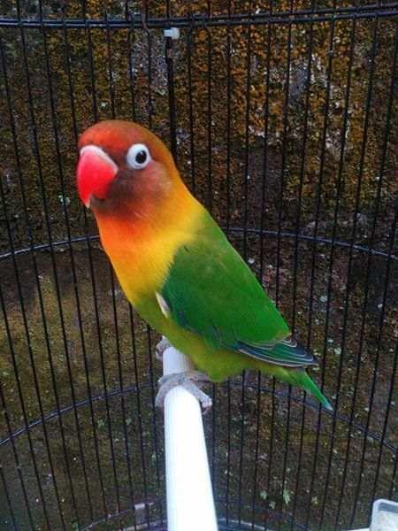 Gambar Lovebird Warna Hijau Binatang Betet Burung Cantik