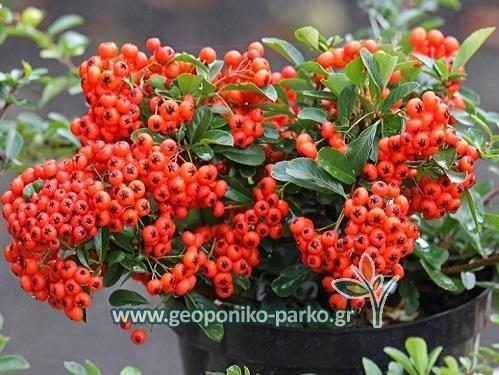Θάμνοι ψηλής μπορντούρας : Πυράκανθος φυτό - Pyracantha coccinea