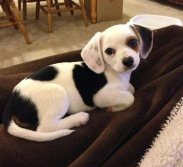 I want one! Cheagle- mix between a Chihuahua and a Beagle :)