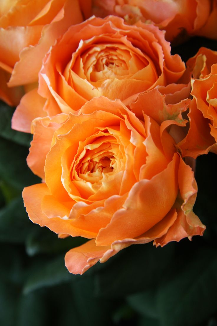 """Orange Garden Rose: 111 Best Images About """"ROMANTICA"""" Roses From MEILLAND"""