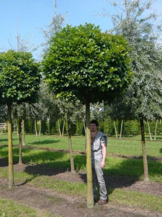 Quercus palustris 'Green Dwarf' / Kugelsumpfeiche 'Green Dwarf' / Nadel-Eiche 'Green Dwarf'