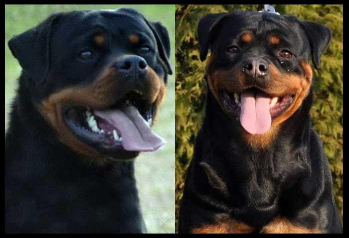 Iron Jasmin T Rottweiler Puppies Rottweiler Puppies For Sale Rottweiler