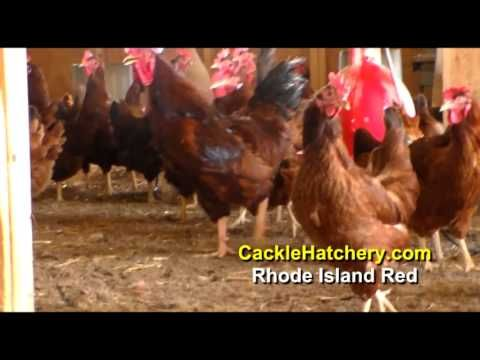 Rhode Island Red Baby Chicken For Sale | Cackle Hatchery