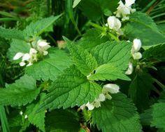 Ortiga: sus beneficios medicinales y para qué sirven.  #ortiga, #plantas, #plantasmedicinales