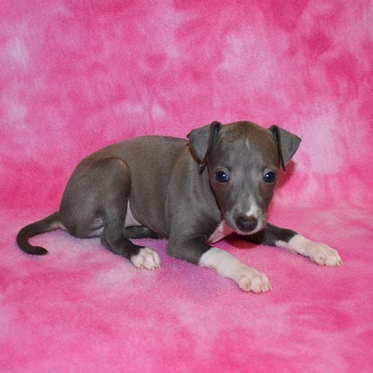 Italian Greyhound Puppies Italian Greyhound Puppies Breeder Italian Greyhound Puppies For Sale