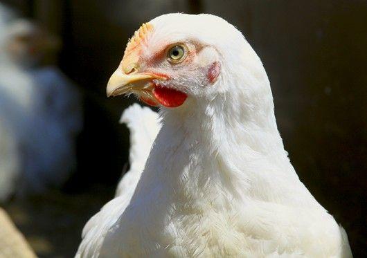 Doenças de Aves - Salmoneloses Aviárias  #cursoscpt #avicultura #criação de aves