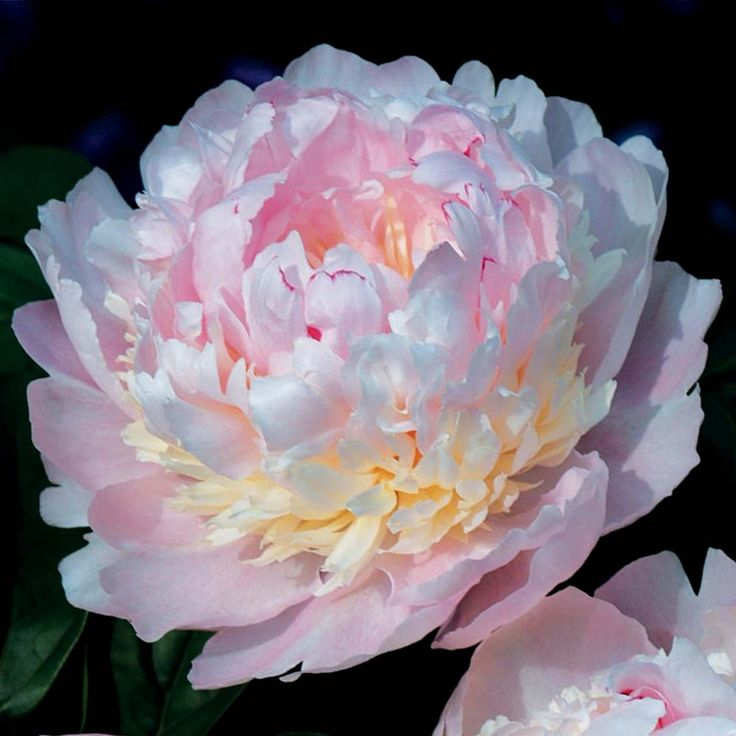 Paeonia lactiflora 'Eden's Perfume'