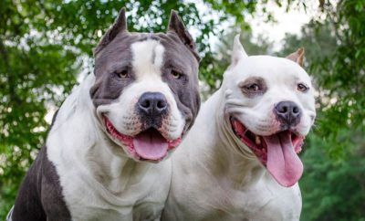 Will the Pitbull Breed Ever Fight its Way Through the Military Breed Ban?