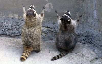 Praying raccoons! XD
