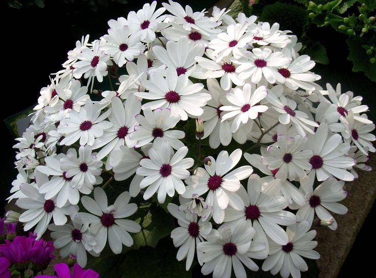 цинерария фото цветов