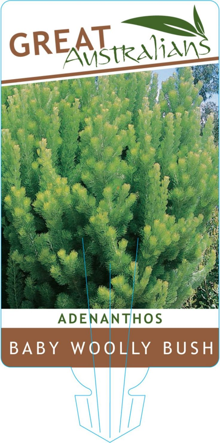 Adenanthos Baby Woolly Label