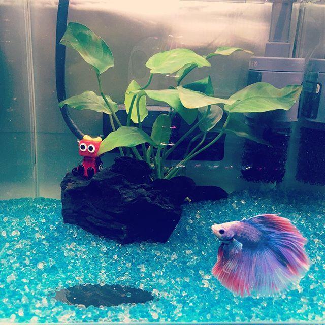 【mikisugawara】さんのInstagramをピンしています。 《男の子なんだけど、お姫様みたい。✨ ・ ・ 底のガラスビーズをよけて水たまりの様にしてみた。 ・ ・ レイアウトそろそろ新しくしようかしら。 ・ ・ ・ #アクアリウム #aquarium #ベタ #熱帯魚 #水槽 #ペット #かわいい #Love #きれい》
