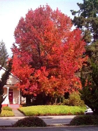 75 best images about gardens trees for zone 5 on for Flowering ornamental trees zone 5