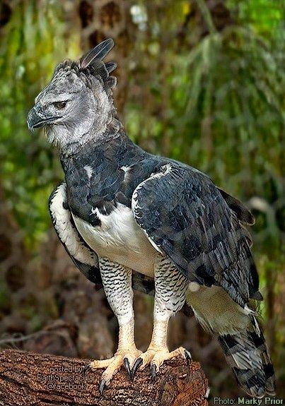 Harpy eagle hunting monkey - photo#32