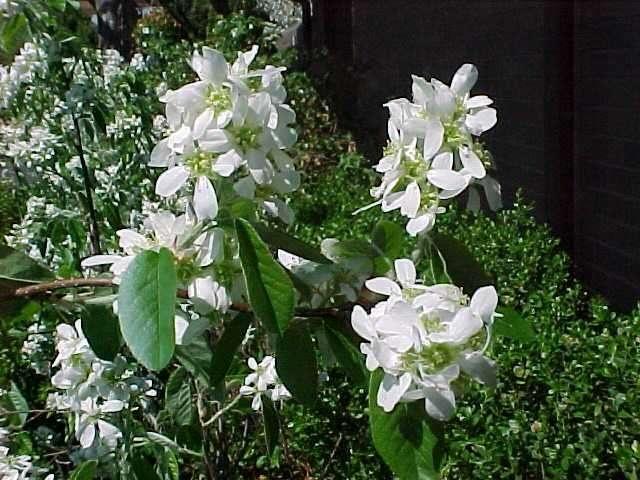 Best 75 FLOWERING SHRUBS ideas on Pinterest | Flowering bushes ...