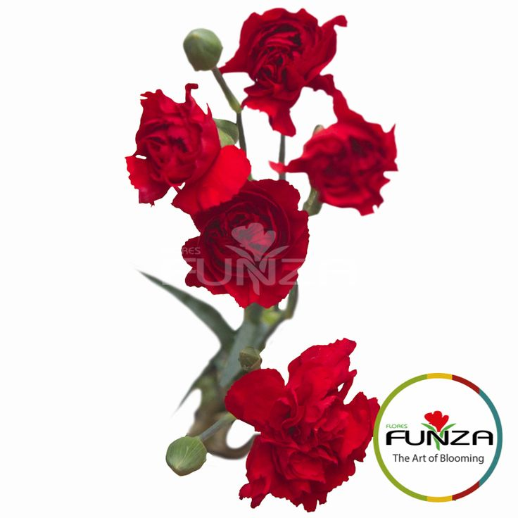 Red Spray Carnation from Flores Funza. Variety: Sebas. Availability: Year-round.