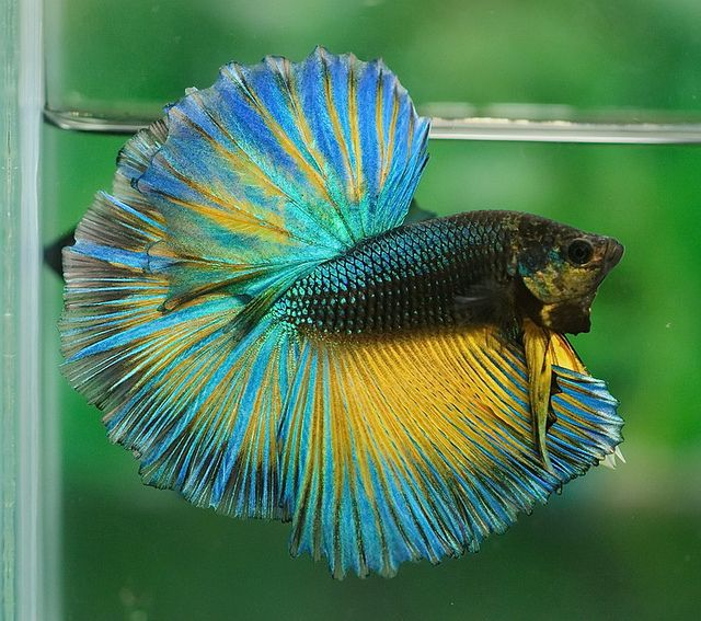 1000 images about betta fish on pinterest salamanders for Betta fish friends
