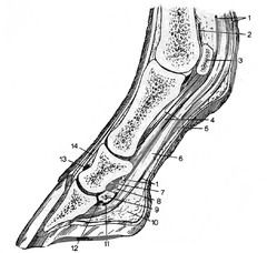 4-H Horse, foot bones structures quizlet