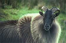 Tahr: an introduced wild animal get widespread destroys rare native plants that only grow on high rocky slopes