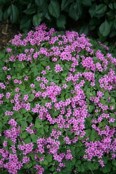 31 best purple shamrock images on pinterest purple for Perennial wood
