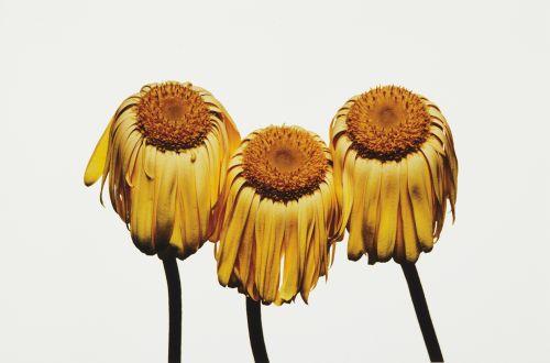 Irving Penn (1917-2009) - Gerbera Daisy, Gerbera jamesonii 'Husky', New York, 2006  Pigment print (35.6 x 47 cm)