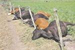 52 Novillos muertos por un Rayo - 28 de October del 2008