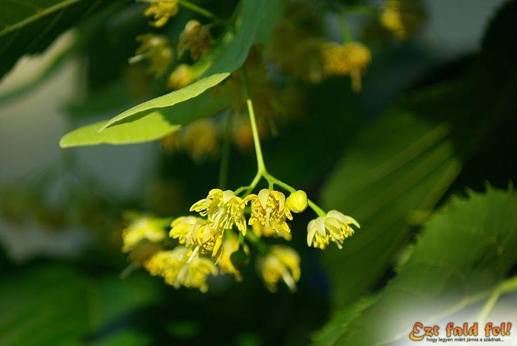 Szeretjük a hársfavirágszörpöt, mert a hársfa virágzatának illata semmihez sem fogható. Édes, aromás, bódító... egyszerűen nem lehet nem szeretni. Azt azonban nem mindenki tudja, hogy a hársfa virágzata nagyon értékes nyákanyagokat tartalmaz, amelynek egészségünkre számos pozitív hatása van. Ezért a virágzatot szárított formában megtalálhatjuk még a gyógynövényeket forgalmazó üzletek polcain is, amelyből aztán a téli megfázós napokra remek tea készíthető. De most nem a hársfateáról lesz szó…