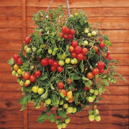 Pimiento. Http://files.genial.guru/files/news/part_0/386/3038-R3L8T8D-650-7.jpg. Puedes cultivar enlaventana pimientos ochiles, para lapizza diablo, por ejemplo. Necesitarás unlugar cálido yluminoso. Las plantas norequieren macetas muy...