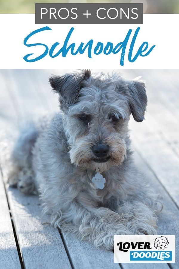 Pin On Doodle Dog Breeds