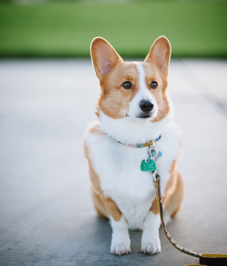 114 best CORGI the dog images on Pinterest | Corgi, Corgis ...