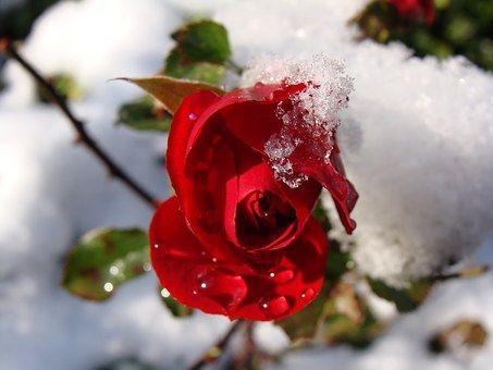 Rode Roos, Sneeuw, Druppels Water