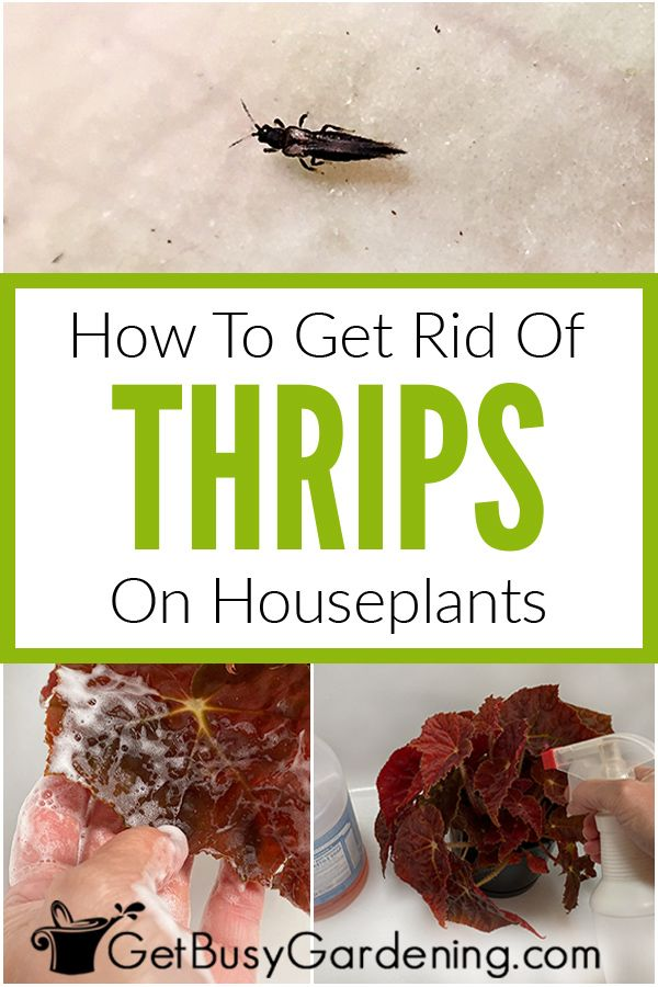 How To Get Rid Of Thrips In Your House