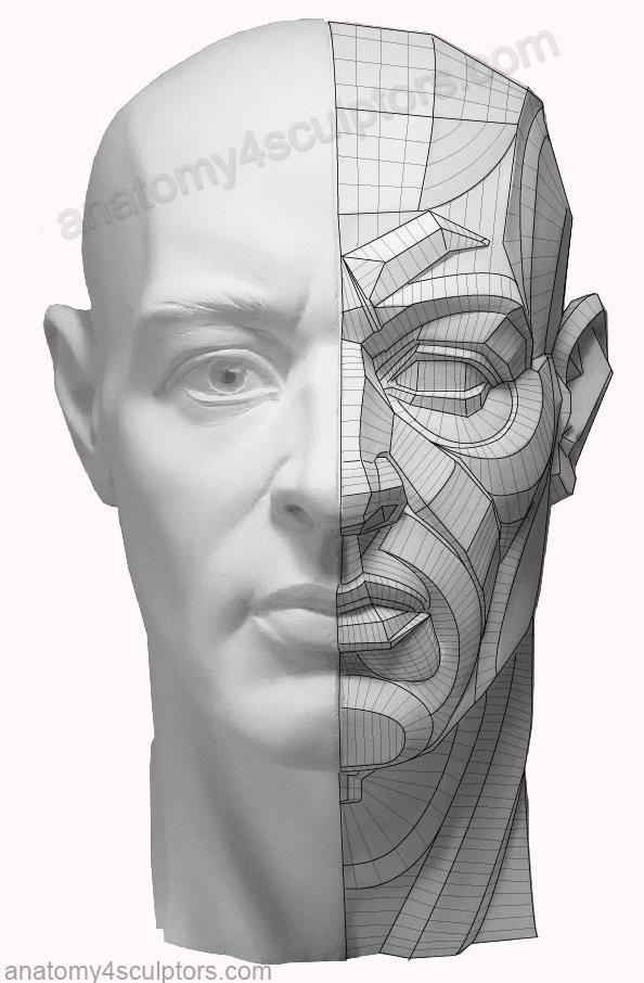 https://www.facebook.com/Anatomy4Sculptors/photos/a.314803788618777.65280.306580462774443/728751157224036/?type=1