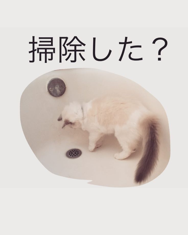 #風呂 にこだわる  悟り猫 Sticker on sale! http://ift.tt/2tvpo3B  #cats #cat #猫 #kittens #kitty #子猫 #ragdollcat #ragdoll #ragdollkitten #ラグドール部 #ragunosamu #イラスト#illustration#yoctosec#悟り#enlightenment #mindfulness#nirvana #linesticker#ラインスタンプ #line #ライン #ragdolllife #ラグドールの営み #bathtab #cleaning