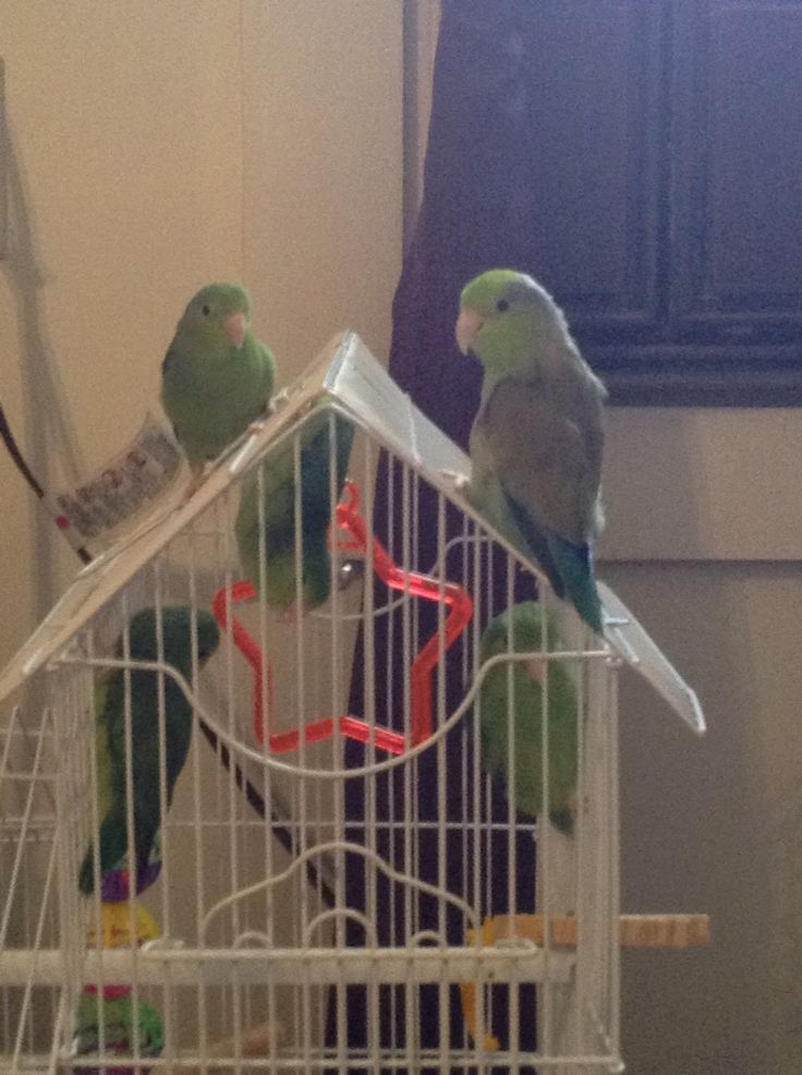 I have these parrotlets for sale