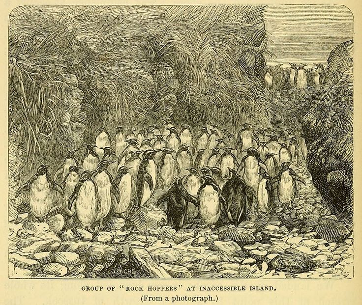 Northern rockhopper penguins, from an engraving after a photograph, published in a book by the naturalist aboard HMS Challenger, Inaccessible Island