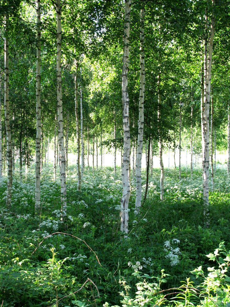 The picture of my precious Finland, refreshing green, wild beauty | Birch Woods in Finland