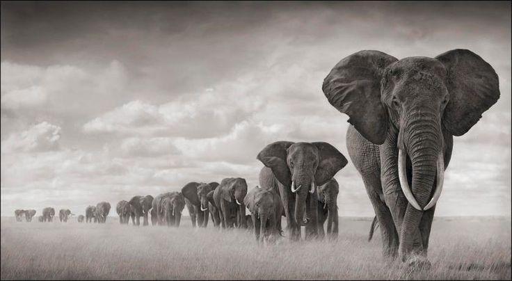 Elephants walking through grass. Amboseli, 2008. Leading matriarch killed by poachers, 2009.