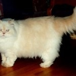 Sejarah Kucing Persia