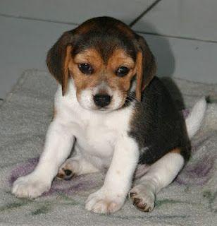 The Beagle Friendly Loyal And Loving Beagle Puppy Beagle Dog