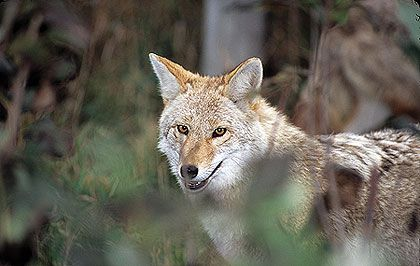 An article from Game & Fish that gives tips and tactices on how best to hunt coyotes in Southern STates in the United States
