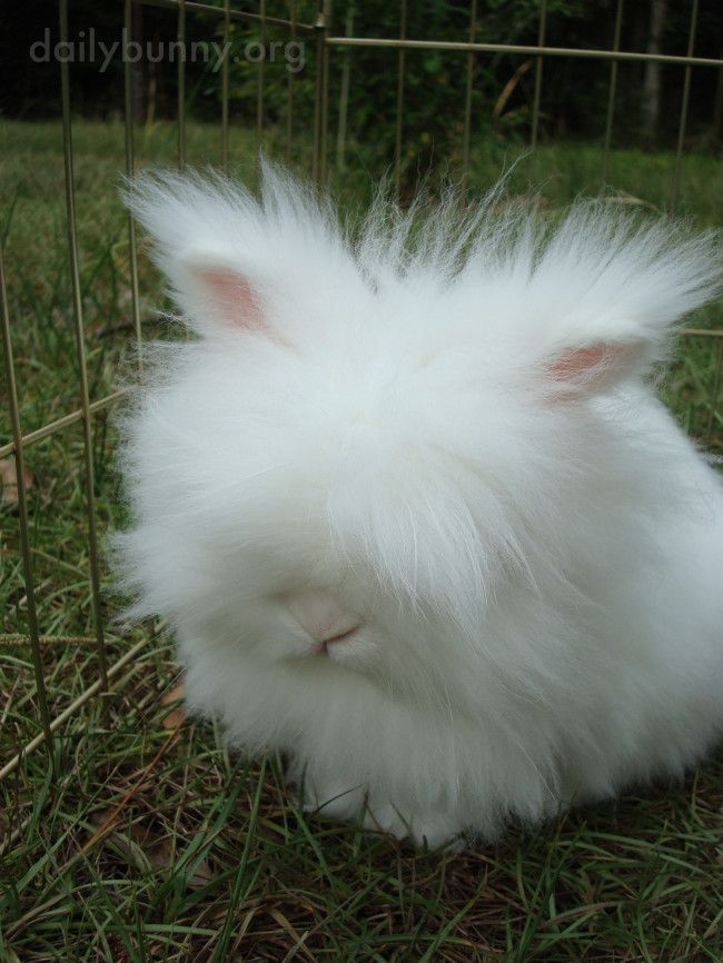 Fluffy Bunny Looks Like a Cloud with Ears and a Nose - The Daily Bunny